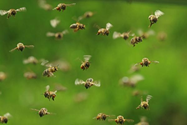 Características de las abejas - Comportamiento de las abejas