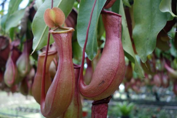 Cuidados para plantas carnívoras - Luz, temperatura y humedad para las plantas carnívoras