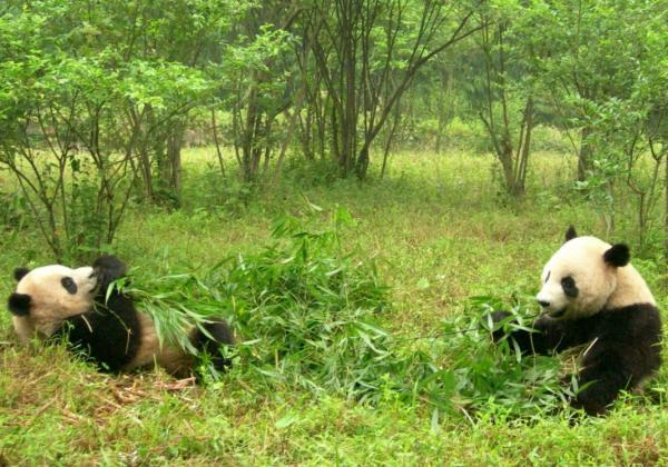 Hábitat del oso panda