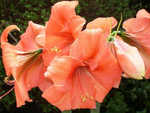 Planta amarilis o amaryllis: cuidados - Cuidados de la planta amarilis o amarullis