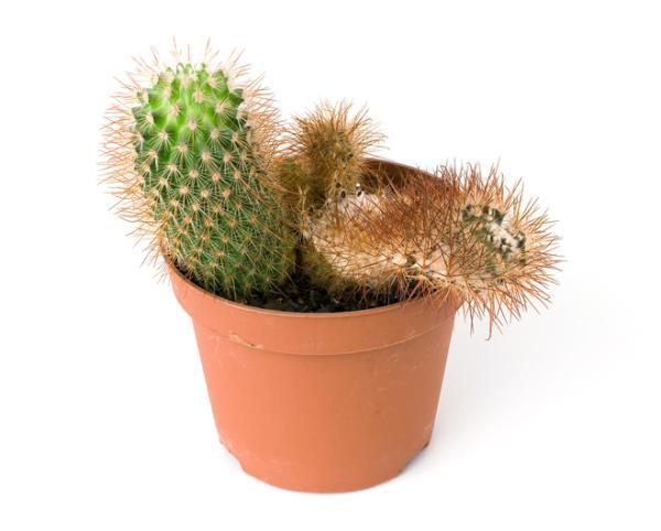 Fungicidas caseros para cactus