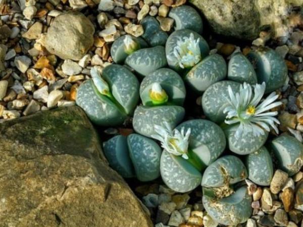 Tipos de plantas suculentas - Lithops o cactus piedra