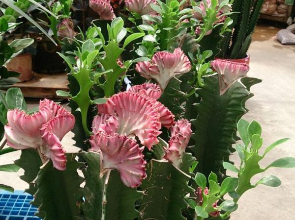 Tipos de plantas suculentas - Planta candelabro