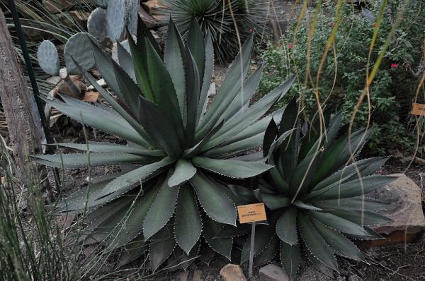 Tipos de plantas suculentas - Principales tipos de plantas suculentas