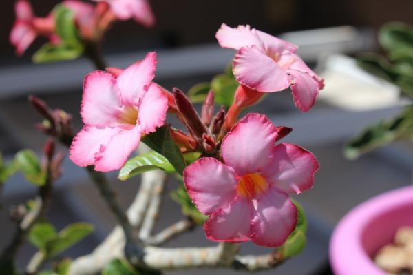 Tipos de plantas suculentas - Rosa del desierto