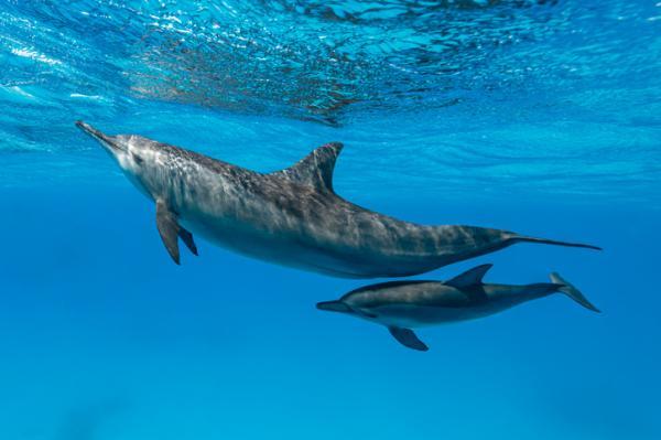 Características de los delfines - Reproducción de los delfines