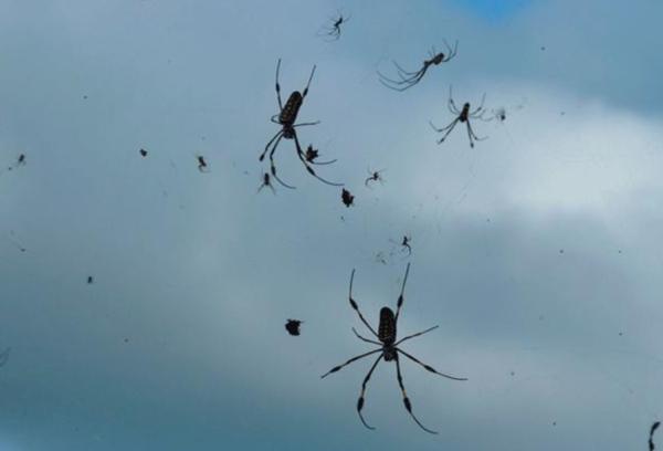 Qué es una lluvia de arañas y por qué pasa