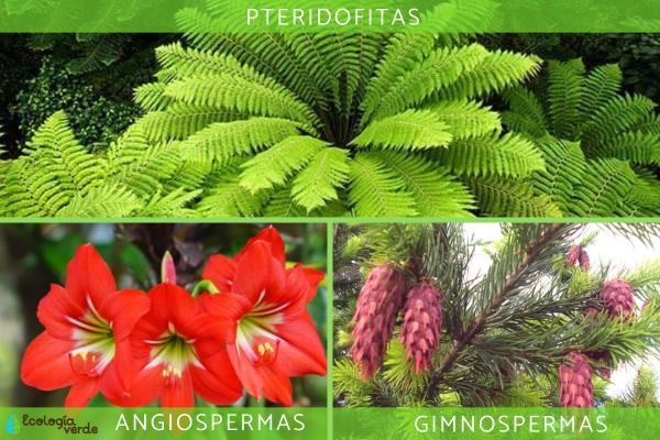 Plantas vasculares: qué son, características y ejemplos - Ejemplos de plantas vasculares