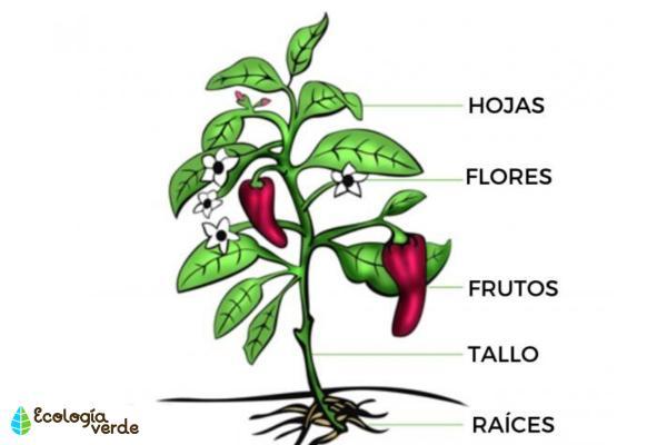 Plantas vasculares: qué son, características y ejemplos - Qué son las plantas vasculares