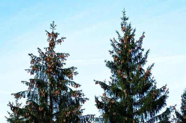 Plantas gimnospermas: qué son, características y ejemplos - Qué son las plantas gimnospermas