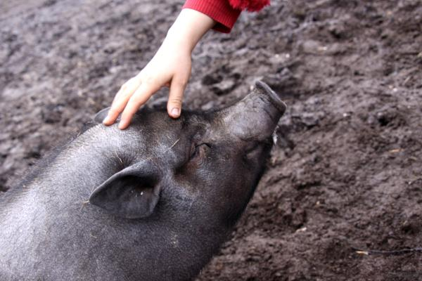 Los 10 animales más inteligentes del mundo - El cerdo