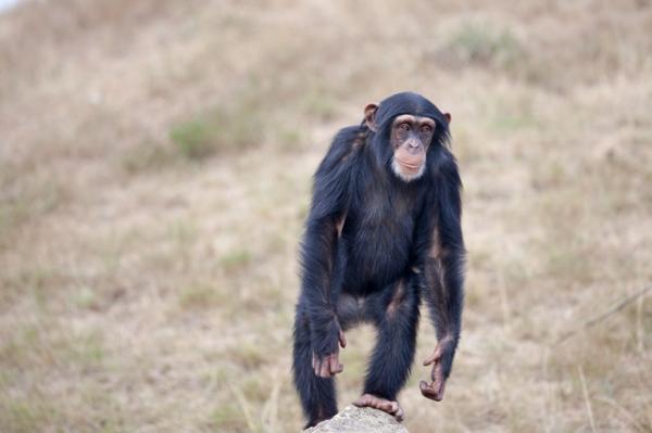 Los 10 animales más inteligentes del mundo - El chimpancé