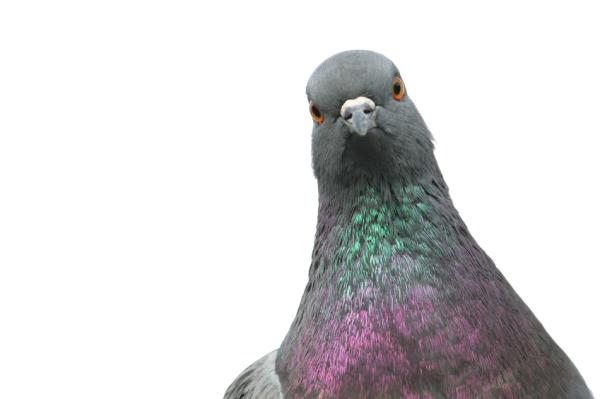Los 10 animales más inteligentes del mundo - La paloma