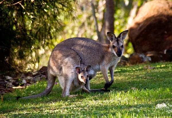 Canguro: dónde vive y qué come - Dónde viven los canguros: el hábitat