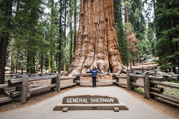 Secuoyas gigantes: características y dónde están - General Sherman, una de las secuoyas más grandes