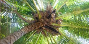 Cómo plantar una palmera y sus cuidados