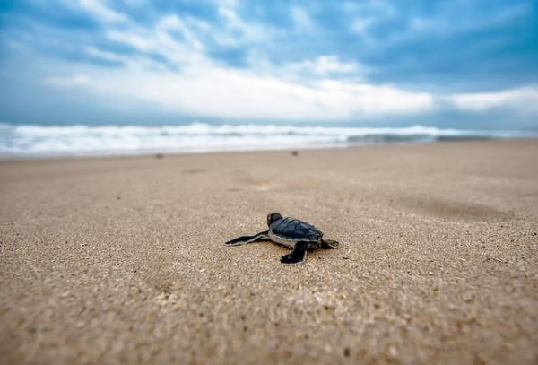 Tipos de tortugas marinas y sus características - Cuáles son las principales características de las tortugas marinas