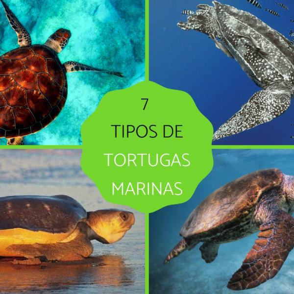 Tipos De Tortugas Marinas Y Sus Características Fotos Y Vídeo