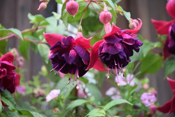 Cuidados de la planta fucsia - Reproducción de la planta fucsia, fuchsias o pendientes de la reina