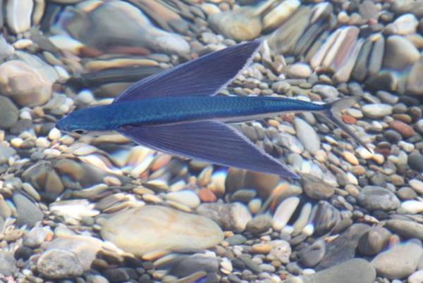 Peces voladores: dónde viven, especies, curiosidades e imágenes - Imágenes de peces voladores