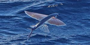 Peces voladores: dónde viven, especies, curiosidades e imágenes