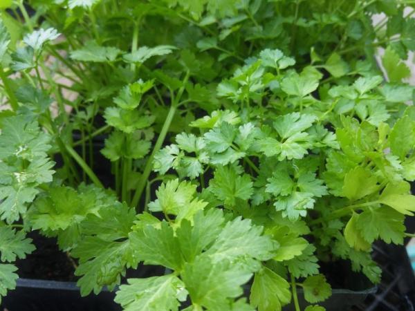 Cómo sembrar cilantro y cultivarlo - Cómo cultivar el cilantro - guía