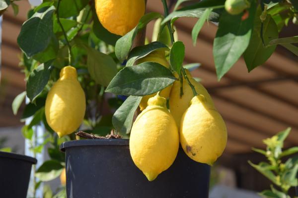 Limonero en maceta: cómo plantarlo, cuidados y enfermedades