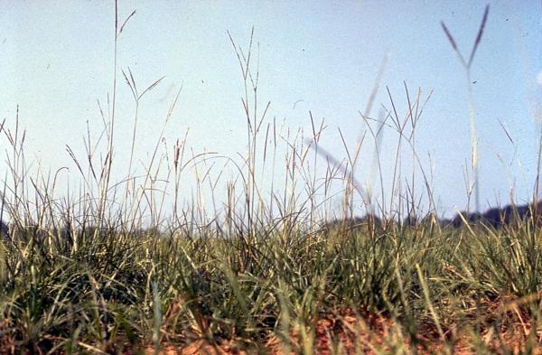 8 tipos de grama - Paspalum notatum