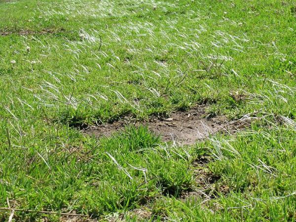 8 tipos de grama - Pennisetum clandestinum