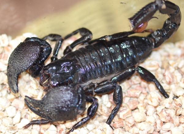Tipos de escorpiones - Escorpión emperador