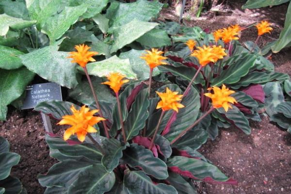 9 flores naranjas - Calateas