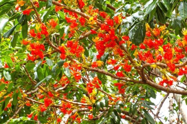 9 flores naranjas - Castaño de Australia
