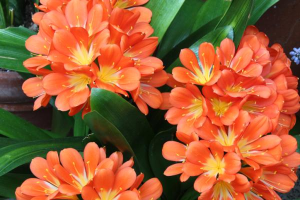 9 flores naranjas - Clivias naranjas
