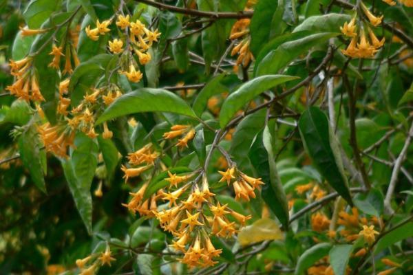 9 flores naranjas - Jazmín naranja