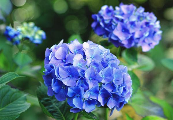+15 plantas de otoño para el jardín - Hortensias: unas plantas de otoño para el jardín muy conocidas