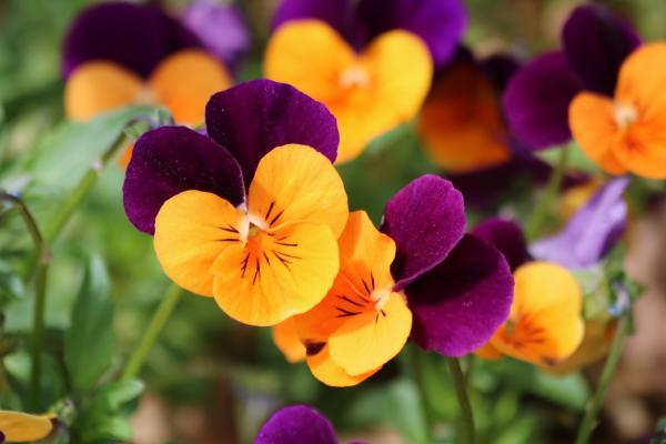 +15 plantas de otoño para el jardín - Pensamientos: plantas de otoño resistentes y coloridas