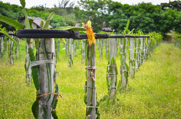 Pitaya: cómo plantar y el cultivo - Cómo plantar pitaya