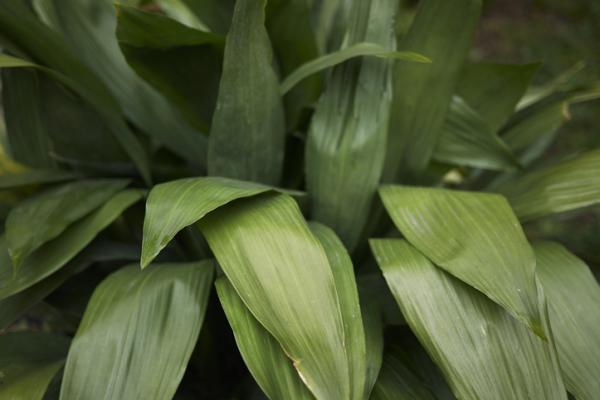 Plantas de exterior resistentes al frío y calor - Aspidistra o Aspidistra elatior