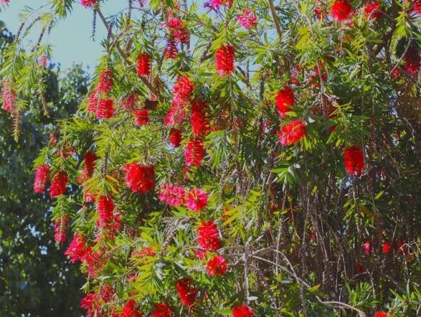 Plantas de exterior resistentes al frío y calor - Callistemon o Callistemon citrinus