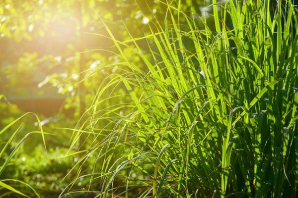 Plantas de exterior resistentes al frío y calor - Citronela o Cymbopogon citratus