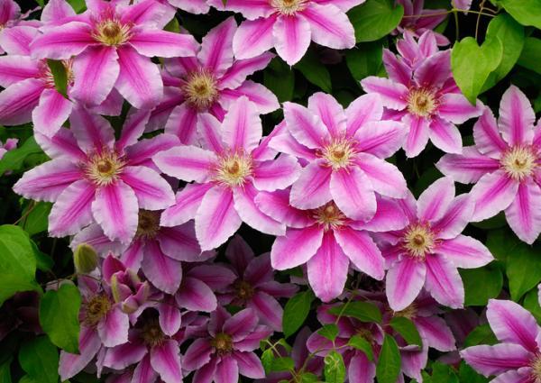 Plantas de exterior resistentes al frío y calor - Clemátide o Clematis spp.