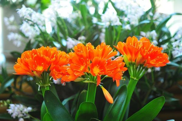Plantas de exterior resistentes al frío y calor - Clivia o Clivia Miniata
