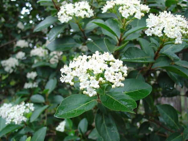 Plantas de exterior resistentes al frío y calor - Durillo o Viburnum tinus