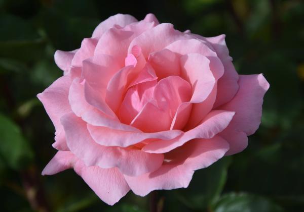 Partes de una rosa: nombres y funciones - Corola