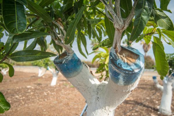 Cómo hacer injertos de árboles frutales - Qué es un injerto en jardinería, horticultura y agricultura