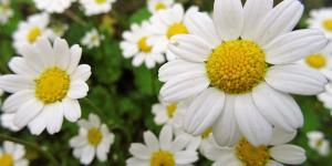 Tipos de flores comestibles