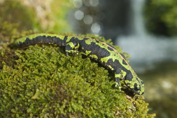 Animales vertebrados:clasificación,características y ejemplos - Anfibios