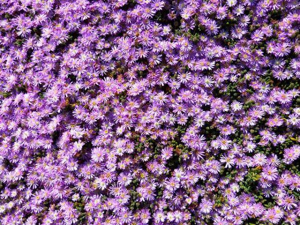 Plantas tapizantes resistentes al frío