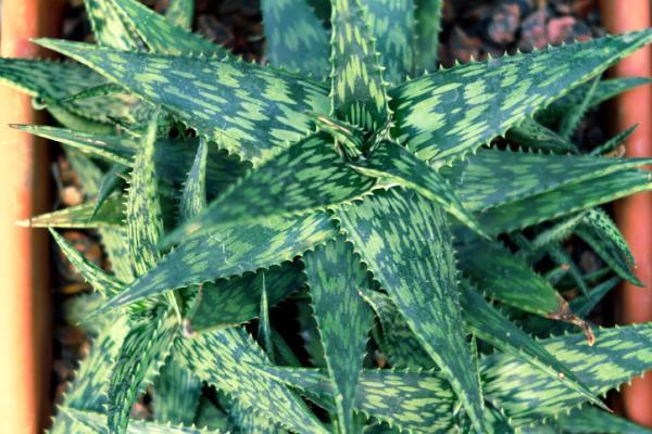 Tipos de aloe vera - Aloe variegata