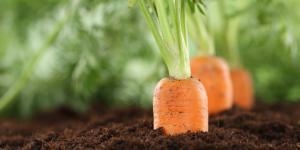 Sembrar zanahorias: cómo y cuándo hacerlo
